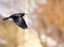 Flying black Carrion Crow Royalty Free Stock Image