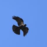 Flying black crow against blue sky Stock Photos