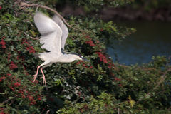 Flying Black crowned night heron Royalty Free Stock Photography
