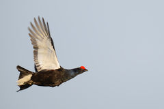 Flying Black Grouse. Black Grouse Flying over a Field in Autumn Stock Images