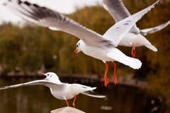 Flying black-headed gull Stock Photo