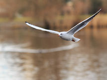 Flying Black-headed Gull Stock Photography