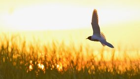 A flying black headed gull. Backlight Royalty Free Stock Photo