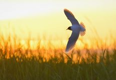 A flying black headed gull. Backlight Stock Photography