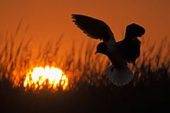A flying black-headed gull.  Backlight. Royalty Free Stock Photography