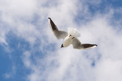 Flying Black-headed gull Royalty Free Stock Photos