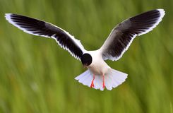 Flying Black-headed Gull (Larus ridibundus) Royalty Free Stock Photography