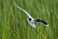 Flying Black-headed Gull (Larus ridibundus) Stock Photo