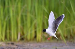 Flying Black-headed Gull (Larus ridibundus) Stock Photos