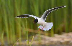 Flying Black-headed Gull (Larus ridibundus). Royalty Free Stock Image