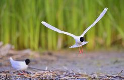 Flying Black-headed Gull (Larus ridibundus). Stock Images