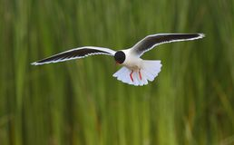 Flying Black-headed Gull (Larus ridibundus). Stock Photos