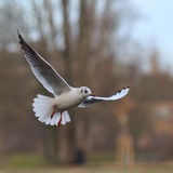 Flying Black-headed Gull Royalty Free Stock Photo