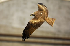 Flying Black Kite Royalty Free Stock Photo