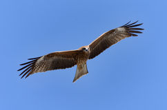 Flying Black Kite. Royalty Free Stock Image