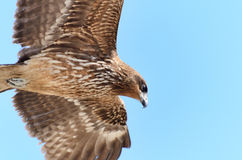 Flying Black Kite. Royalty Free Stock Images