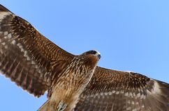 Flying Black Kite. Stock Image