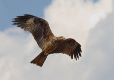 Flying Black Kite Stock Photography