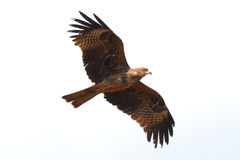 Flying Black Kite Royalty Free Stock Photo