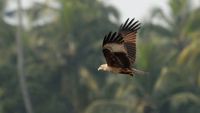 Flying Black Kite at palms background Royalty Free Stock Photos