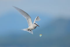 Flying black-naped tern Royalty Free Stock Photo