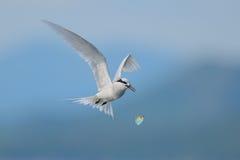 Flying black-naped tern