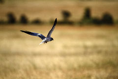 Flying Black Shouldered Kite Stock Photos