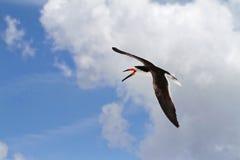 Flying Black Skimmer Bird Stock Image