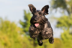Flying black standard schnauzer dog. Picture of a flying black standard schnauzer dog royalty free stock photos