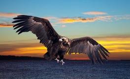Flying black vulture Stock Images