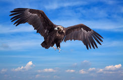 Flying black vulture Royalty Free Stock Photography