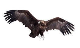 Flying black vulture. Isolated over white Royalty Free Stock Image