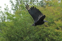 Flying black vulture Royalty Free Stock Photos