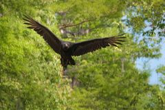 Flying black vulture in the swamps of Louisiana. United States Stock Photo