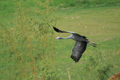 Flying blue crane Royalty Free Stock Photos
