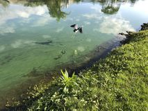 Little blue heron flies. Flying blue heron in a green river polluted with algae Royalty Free Stock Photography