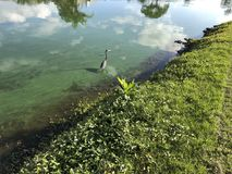 Little blue heron flies. Flying blue heron in a green river polluted with algae Royalty Free Stock Image