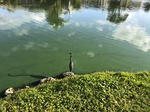 Little blue heron flies. Flying blue heron in a green river polluted with algae Stock Photo