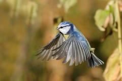 Flying Blue-Meise unter Herbstgelbgräsern Stockbilder