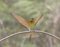 Flying Blue-tail bee-eater (Merops philippinus) Stock Photo