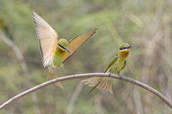 Flying Blue-tailed Bee-eater (Merops Philippinus) Royalty Free Stock Photo
