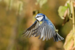 Flying Blue Tit among autumn yellow grasses Stock Images