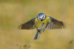 Flying Blue Tit in bright autumn day Royalty Free Stock Photo