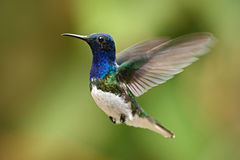 Flying blue and white hummingbird White-necked Jacobin from Ecuador Royalty Free Stock Photography