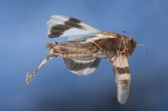 Flying blue winged grasshopper Royalty Free Stock Photo