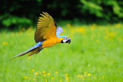Flying blue-and-yellow Macaw - Ara ararauna Royalty Free Stock Image