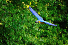Flying blue-and-yellow Macaw - Ara ararauna Stock Image