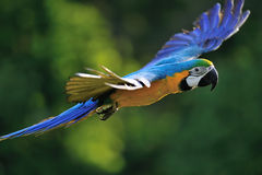 Flying blue-and-yellow Macaw - Ara ararauna royalty free stock photo