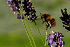 Flying Bombus pascuorum around the flowers Stock Image