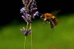 Flying Bombus pascuorum around the flowers Royalty Free Stock Photo